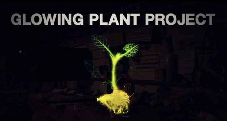 la plante bioluminescente un clairage naturel et sans lectricit neozone. Black Bedroom Furniture Sets. Home Design Ideas