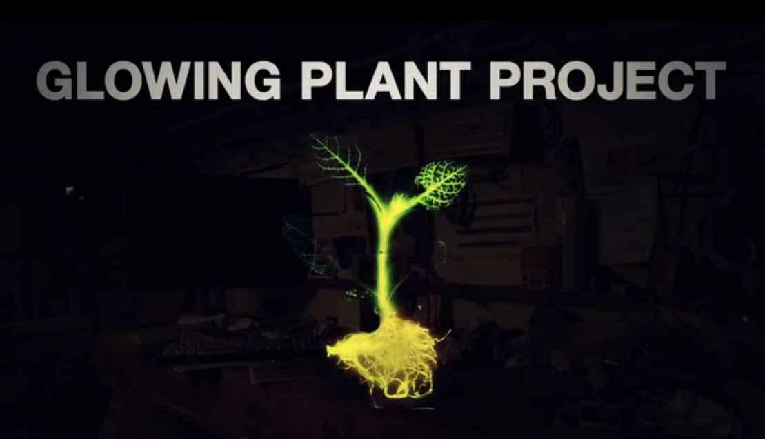 la plante bioluminescente un clairage naturel et sans. Black Bedroom Furniture Sets. Home Design Ideas