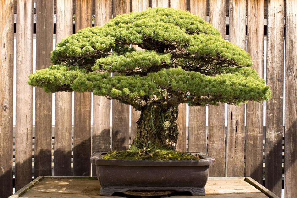 bonzai-japonais-400-ans-hiroshima-001