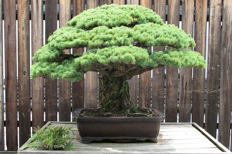 bonzai-japonais-400-ans-hiroshima-002