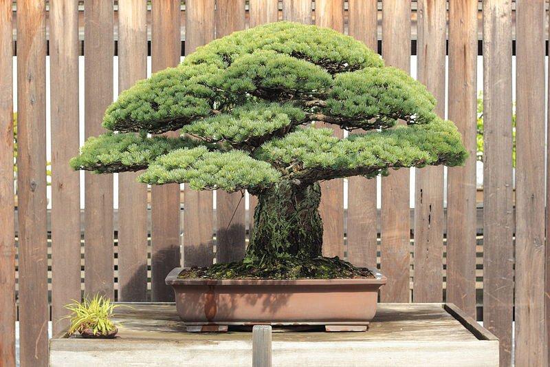 bonzai-japonais-400-ans-hiroshima-004