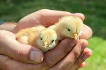 La Suisse va interdire le broyage des poussins vivants dans les exploitations