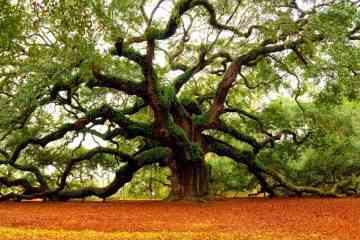 Un américain clone des arbres millénaires capables d'absorber les tonnes de dioxydes de carbone