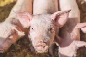 Des chercheurs ont réanimé des cerveaux de porcs décapités 4 heures après leur mort