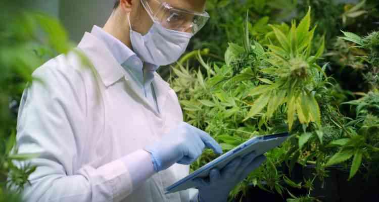 Le cannabis a-t-il un effet anti-cancer ? Un début de rémission interpelle les scientifiques