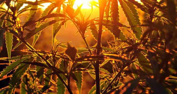 """Les Chinois """"consommaient"""" déjà du cannabis il y a 2500 ans..."""