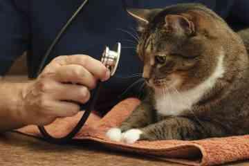 New York va interdire le dégriffage des chats, une pratique barbare encore autorisée dans tous les autres Etats américains...