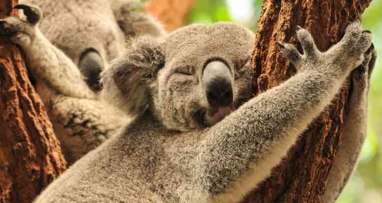 Pendant la canicule, les koalas se rafraîchissent en faisant des câlins aux arbres