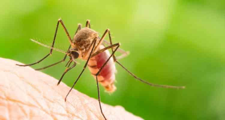 Pour lutter contre le paludisme, des chercheurs ont créé un champignon génétiquement modifié tueur de moustiques