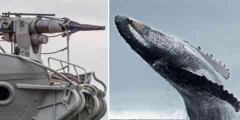Mauvaise nouvelle, le Japon autorise à nouveau la chasse à la baleine....