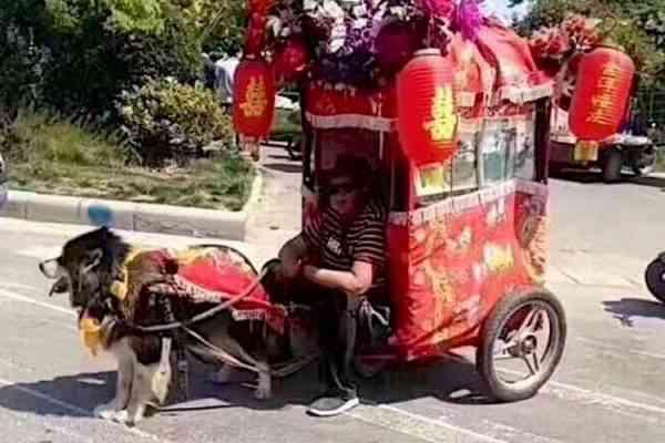 Chine : La triste mode des chiens-taxis