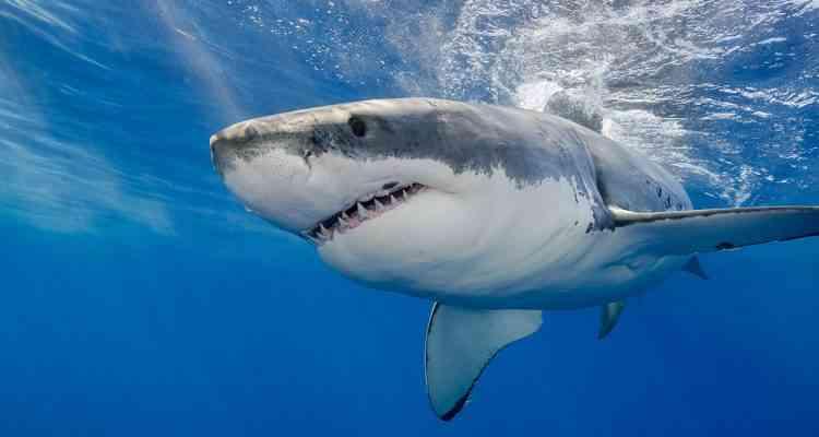 Rosie, l'histoire du grand requin blanc oublié dans un bac de formol....
