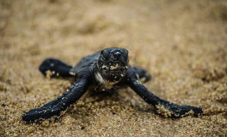 Inde : les tortues de mer réinvestissent les plages et c'est magnifique !