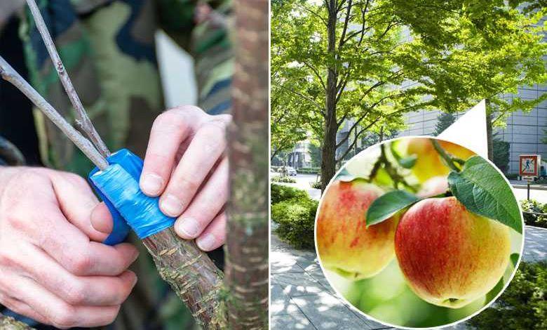 Guérilla Greffeurs : un collectif greffe secrètement des branches d'arbres fruitiers sur les arbres des villes