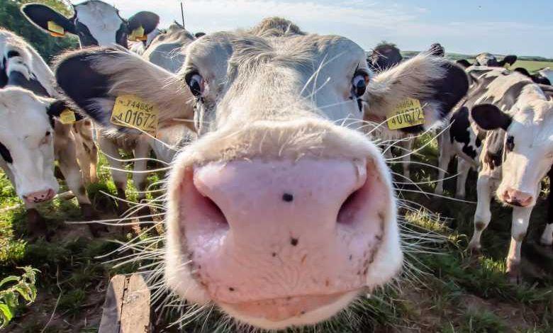 Au Botswana, on dessine des yeux sur l'arrière-train des vaches ou autres bovidés pour les protéger des prédateurs