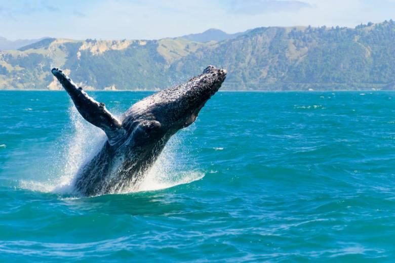 Des archives dévoilent comment les baleines se sont défendues contre l'Homme au 19e siècle
