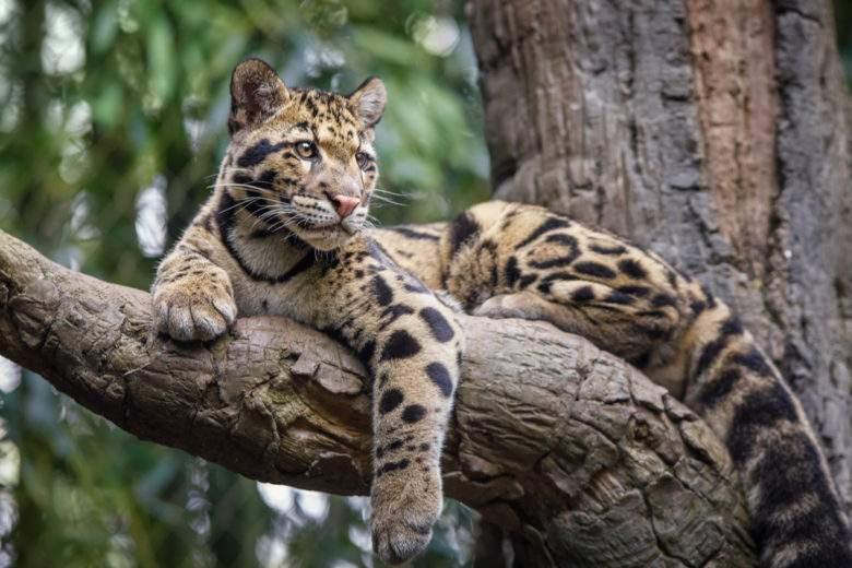 Temukan posisi 10 kucing terbesar di dunia!