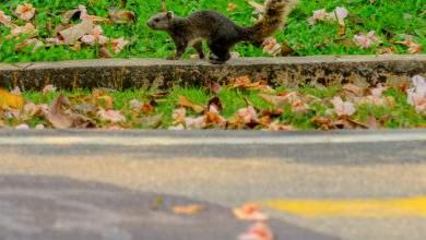 """Réchauffement climatique : des écureuils """"suicidaires"""" meurent par millier sous les roues des voitures"""