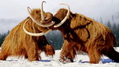 Lutte de mammouth laineux, mammifères préhistoriques de l'âge de glace.